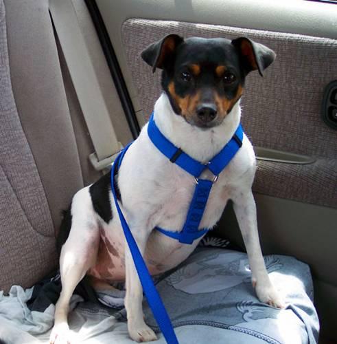 cachorro no carro - cohdra