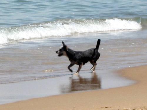 cachorro praia alvimann