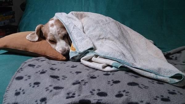 cachorro dormindo Kemeki