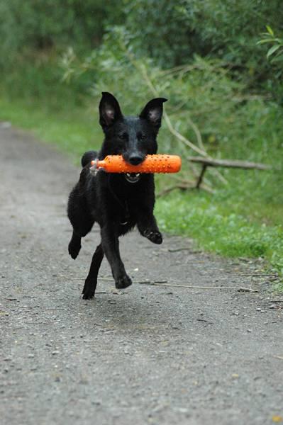 cachorro correndo Carlson