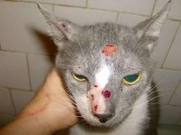 gatinho com esporotricose