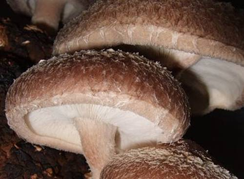 shiitake medicalmushrooms