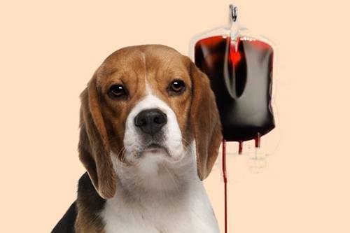 cachorro sangue