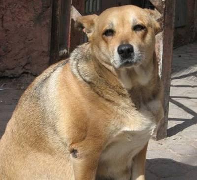 fat_dog_size