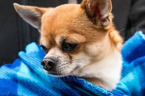 chihuahua-cachorro33