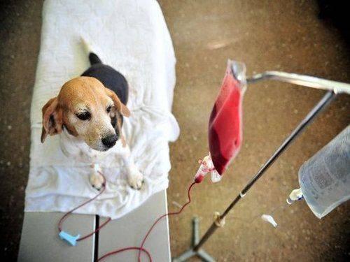cachorro-sangue-pinterest