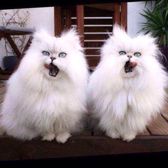 gatos-brancos-peludos
