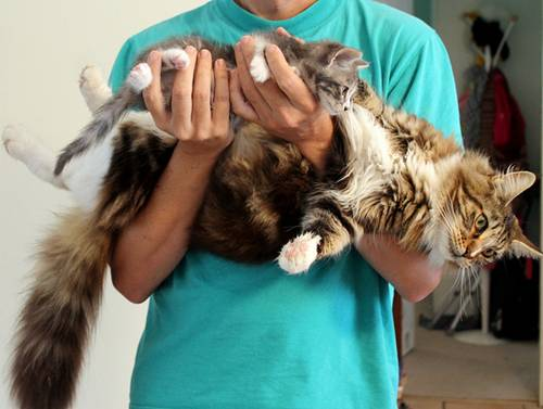 maine-coon-baby-and-mom