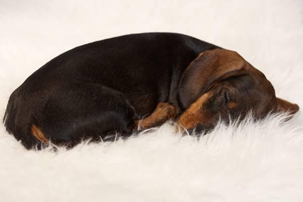 Lovely dachshund sleeping on fur blanket