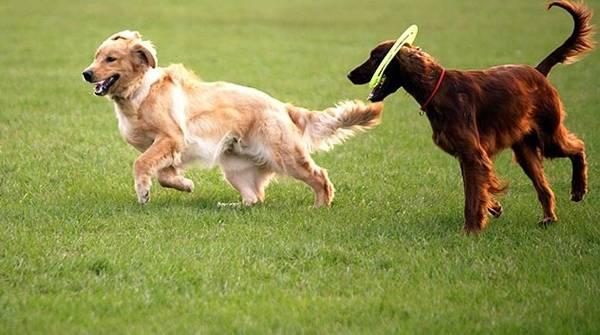 cachorros-petfinder