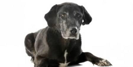 cachorro-idoso-2