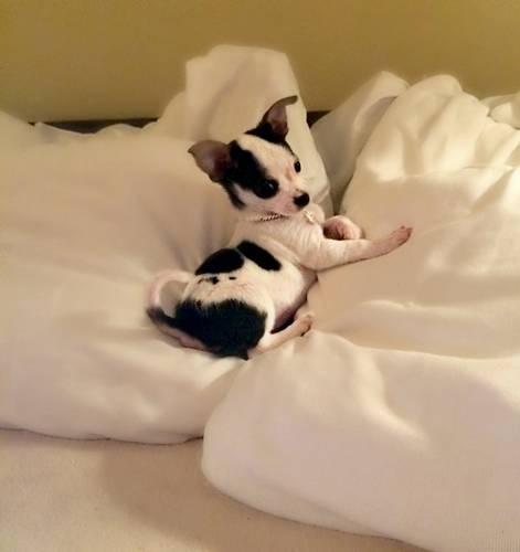 cachorro-na-cama-theresaotero