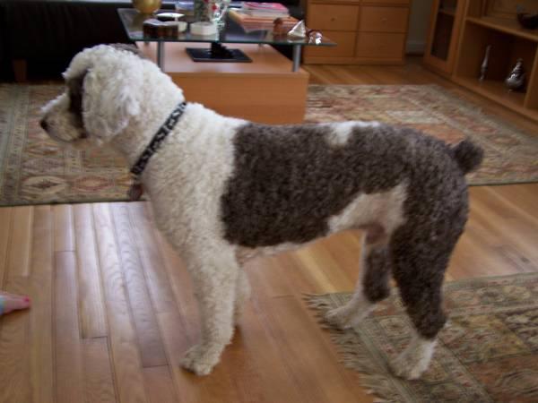cachorro-tosa-spanishwaterdog-org