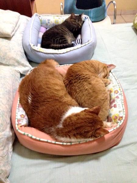 gatos-na-cama2