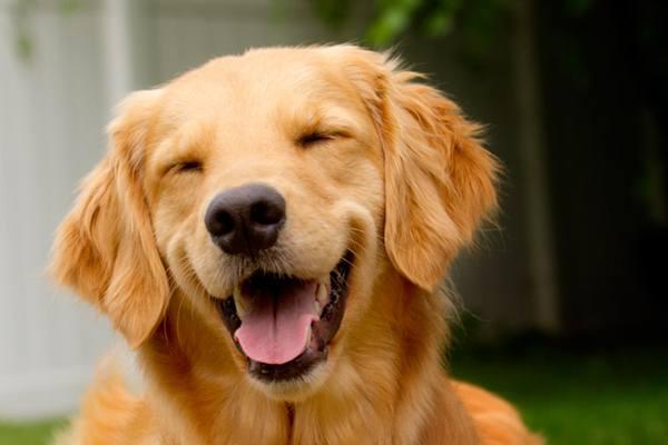 golden-cachorro