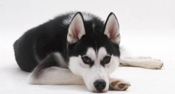 Siberian Husky dog, Ash