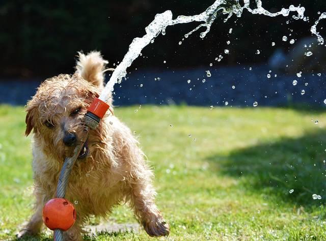 cachorro-terrier-verao-mangueira-agua-pixabay