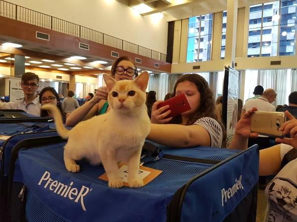 gatinho da raça Burmês conquista a atenção no evento