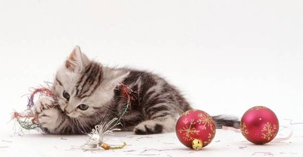 Silver tabby kitten, 8 weeks old, playing with Christmas tinsel and baubles