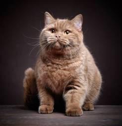 gato_obeso