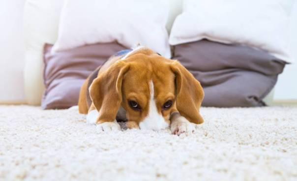 cachorro beagle quarto