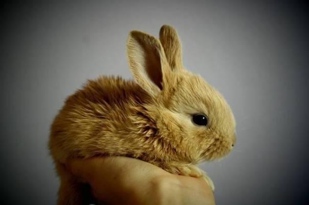 coelho pequeno