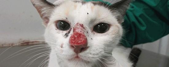 gato esporotricose Foto Isabella Dib Gremião