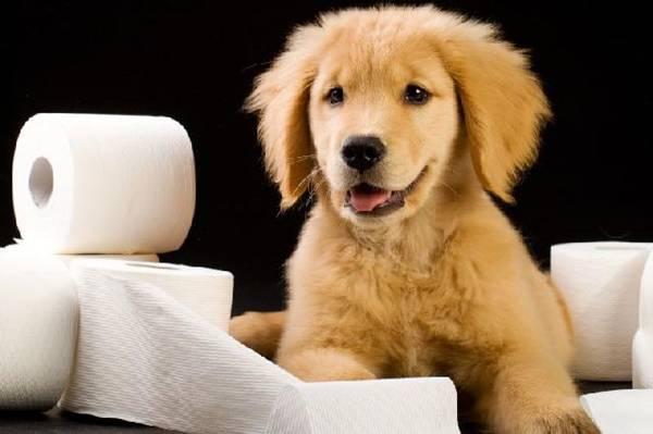 coprofagia cachorro papel.jpg