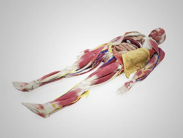 syndaver-anatomy-model