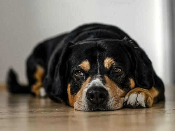 cão_deitado