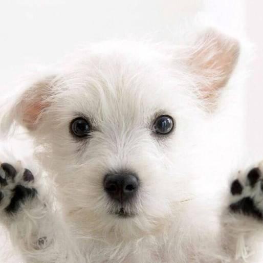cachorro branco peludo