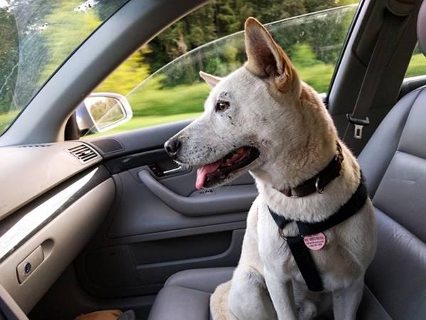 cachorro carro cinto viagem