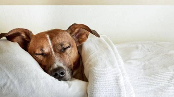 cachorro dormindo cama coberto