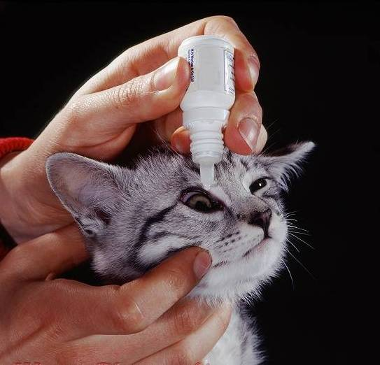 Administering antibiotic eye drops to tabby cat with unilateral conjunctivitis.