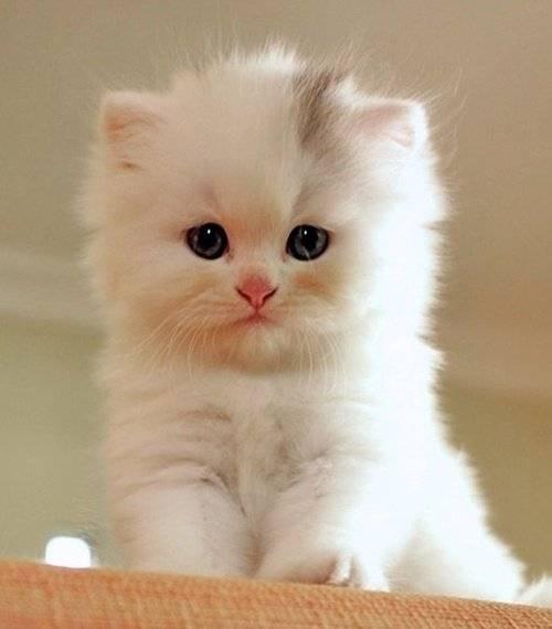 gato fofinho branco
