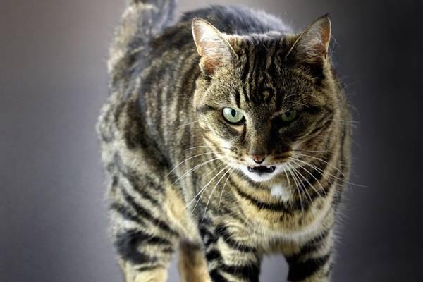 gato tigrado bravo