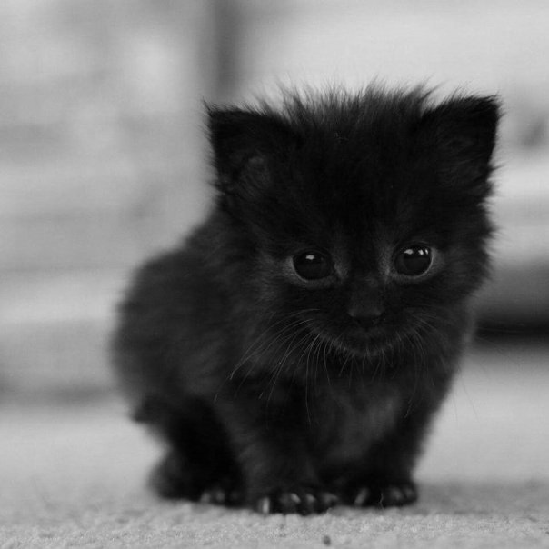 gato pretinho