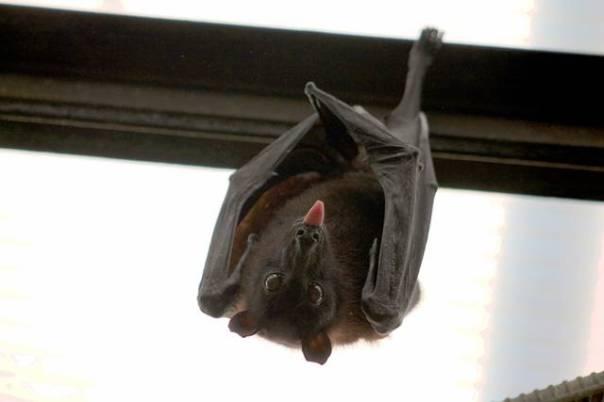 morcego pixabay