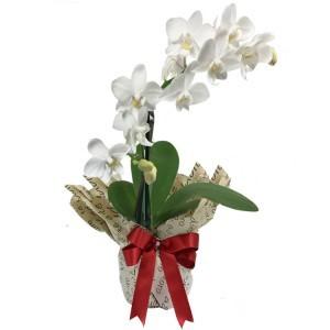 orquidea denphale