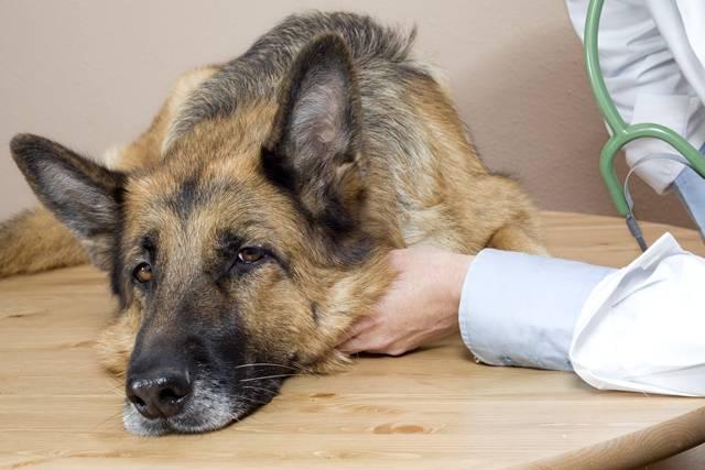veterinarian dogs