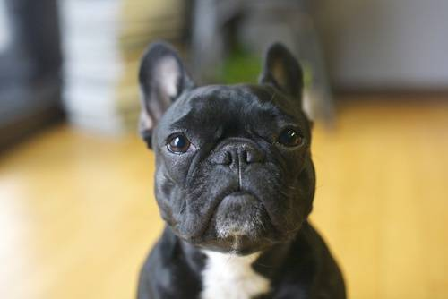 A French bulldog.