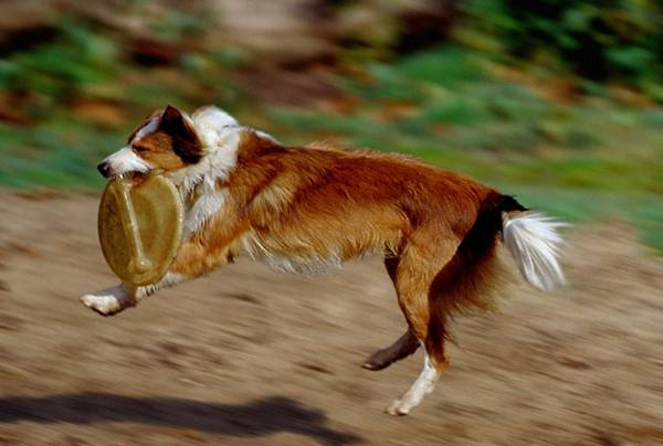 Sable-and-white Border Collie Lark, catching a Frisbee
