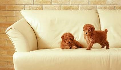 cachorros no sofá