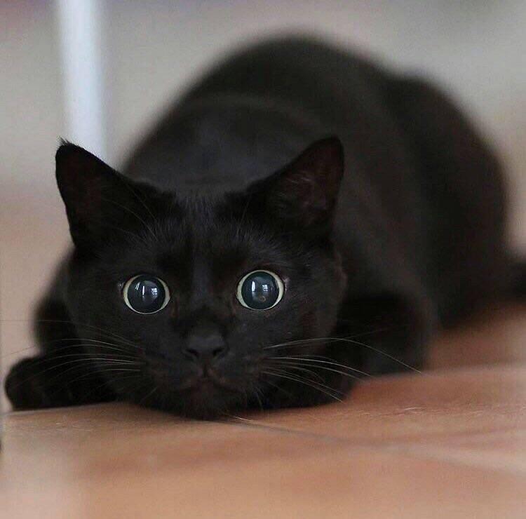 gatinho preto gato