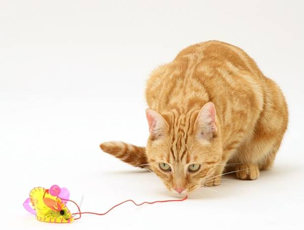 Ginger cat, Benedict, 15 months old, playing with a mouse toy