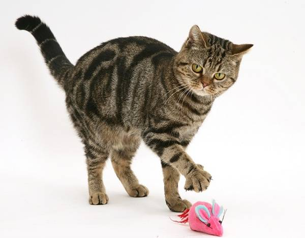Tabby cat, Tiger Lily, playing with a toy catnip mouse