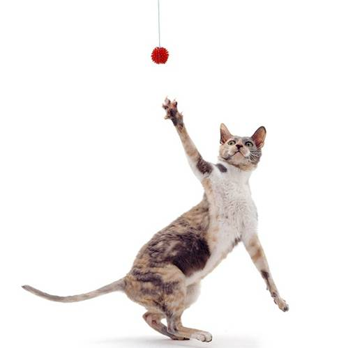 Blue-tortoiseshell Cornish Rex cat, Faberge, reaching for a toy