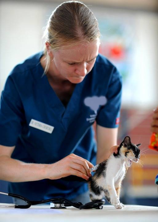 gato veterinario pixabay