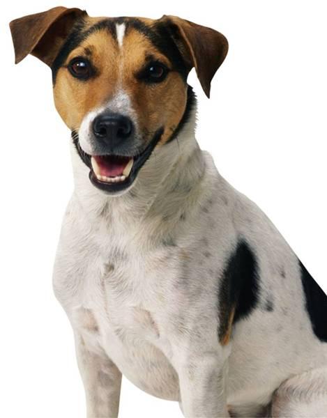 cachorro adoção