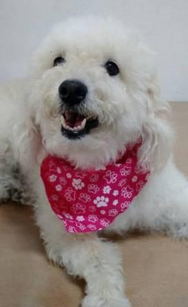cachorro com bandana aya tech